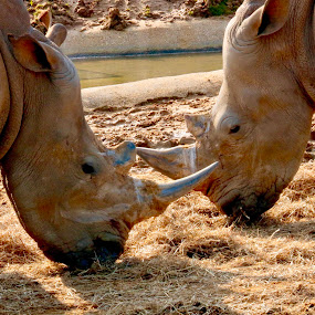 Rhinos  by Richard Lawes - Novices Only Wildlife