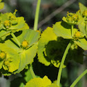 Serrated spurge; Lechetrezna serrada