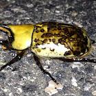 Eastern Hercules Beetle, male