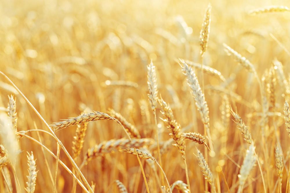 Com forte plantio durante o inverno, a Região Sul domina a produção de trigo no Brasil. (Fonte: Yrabota/Shutterstock)