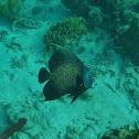 Gray angelfish adult