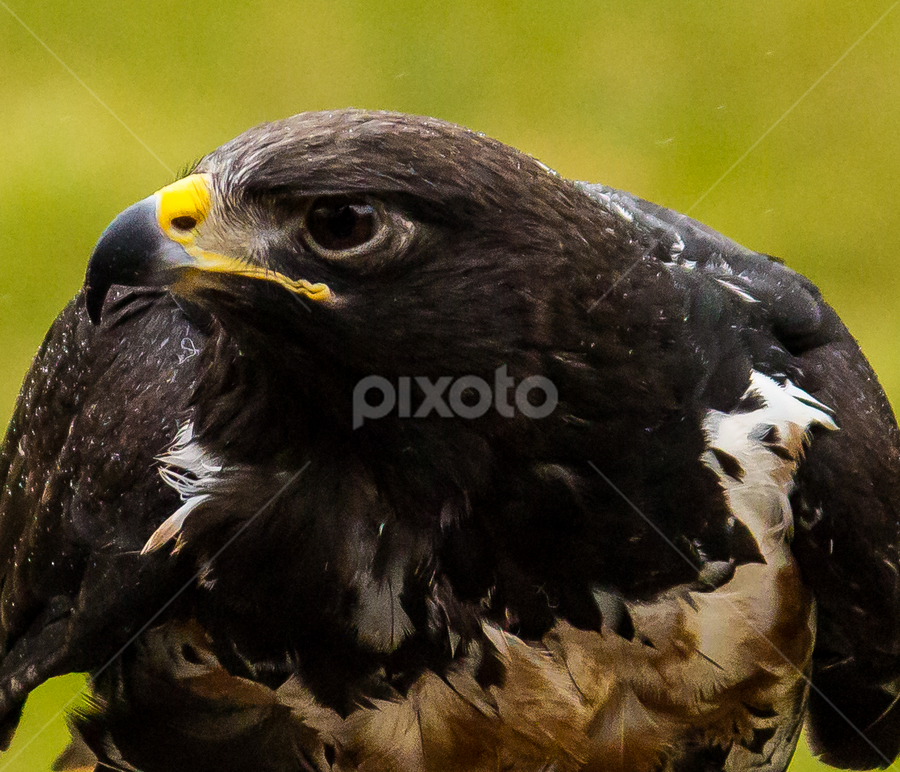 Jackal Buzzard by Andy Horns - Animals Birds