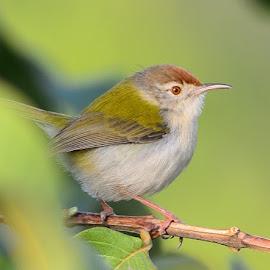 Tailor Bird by Rajkumar Shiwani - Animals Birds (  )