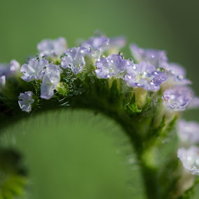 The delicate beauty by Prajwal Ullal - Nature Up Close Other plants ( canon 100mm macro, wild, macro, dew, orning, flower, canon 550d,  )