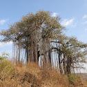 Banyan Tree (वट वृक्ष)