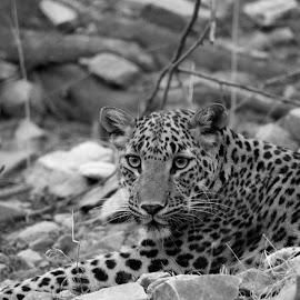by Soham Chakraborty - Black & White Animals