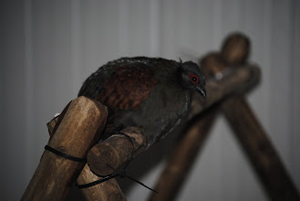 Photo: Young female Roul roul or Crested wood Partridge in isolation unit taking a rest on the perch.