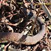 Florida Water Snake