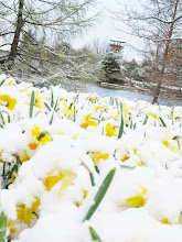 Photo: Yellow daffodils covered with snow in front of a blue pond and wooden tower at Cox Arboretum in Dayton, Ohio.