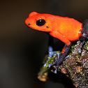 Strawberry Poison frog (Blue-jeans Morph)