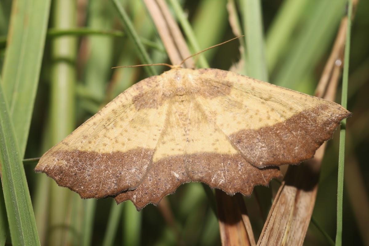 Saw-wing Moth - 6724