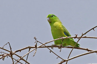 Photo: Blue-winged Parrotlet