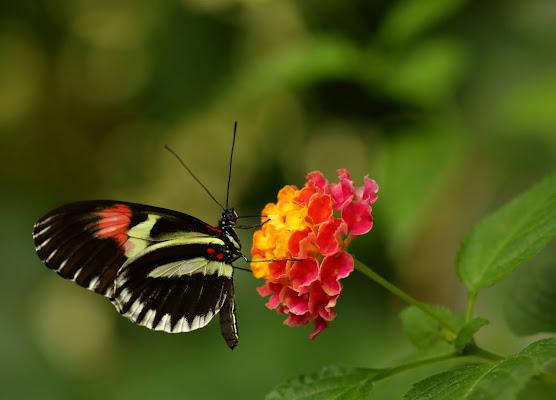 La farfalla sul fiore di Sgheno