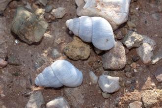 Photo: Fauna: Gasteròpode terrestre: Leonia mammillaris