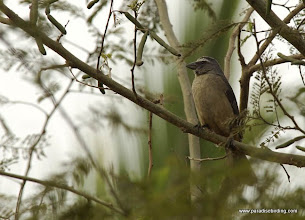 Photo: Plain Saltator, en route to San Blas