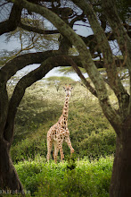 Photo: Framed Giraffe Ndutu, Tanzania, Africa  When you are out on safari you would think that you'd be able to see a giraffe from miles away the same way you would see the Eiffel Tower in Paris long before you got to it. For some reason in Africa it seems the bigger the animal is, the stealthier they are. Driving through the trees of Ndutu we kept on getting surprised by these random giraffes popping out from every direction. We would sit there in silence and poof one would be 10 feet in front of us only to dash away after it got a quick glance at us. I felt like I was in some kind of arena as puppeteers in some safari control room was launching random giraffes in our direction, laughing at our surprise as they monitor us with secret tree cameras. Like an African hunger games except instead of fighting to the death I'm just trying to get a decent photo!  Anyways, these giraffes have a few things working for them that help keep them nice and quiet. Larger animals are simply a lot more graceful because they are so heavy, they tend to look like they are walking in slow motion because the shear mass of their limbs slows quick movements. Because they are so large they don't have too many predators (mainly lions) this negates the need to run around in a constant panicked like state, and verbal communication is unnecessary .  Photographic Details: I often say, never centre your subject, but in this case I was able to frame this giraffe down with this tunnel of trees as she popped out. Framing is a great compositional tool, and if you can find something interesting to surround your subject in a centered subject isn't so bad. She turned and stared at us for a few moments, then quickly made her way again. You can see how her front leg is poised to take off again, a really cool demonstration of body language is plainly depicted here.  Camera Settings: 1/250s f/2.8 ISO100 160mm  For #wildlifewednesday curated by +Mike Spinak