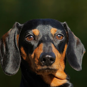 Dachs by Hans Olav Beck - Animals - Dogs Portraits ( dachshund (smooth haired),  )