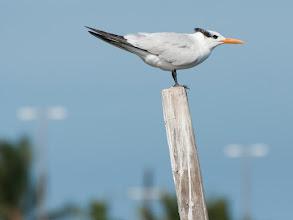 Photo: Royal Tern (Königsseeschwalbe); Rio Lagartos, YUC