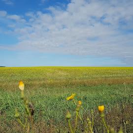 Field in Siberia by Elena Vinnichenko - Landscapes Prairies, Meadows & Fields ( #siberia #siberianfiels #field #autumn #yellowfield #siberianflowers )