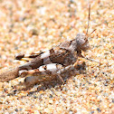 Scarlet Band-winged Grasshopper