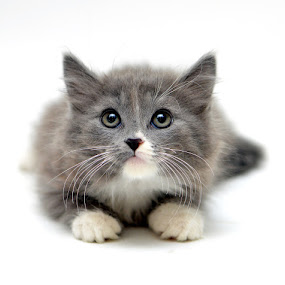 Sweet and Shy by Josh Norem - Animals - Cats Portraits ( cats, kitten, cat, kittens, feline )