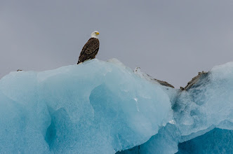 Photo: Bald eagle on top of huge iceberg at entrance to Tracy Arm