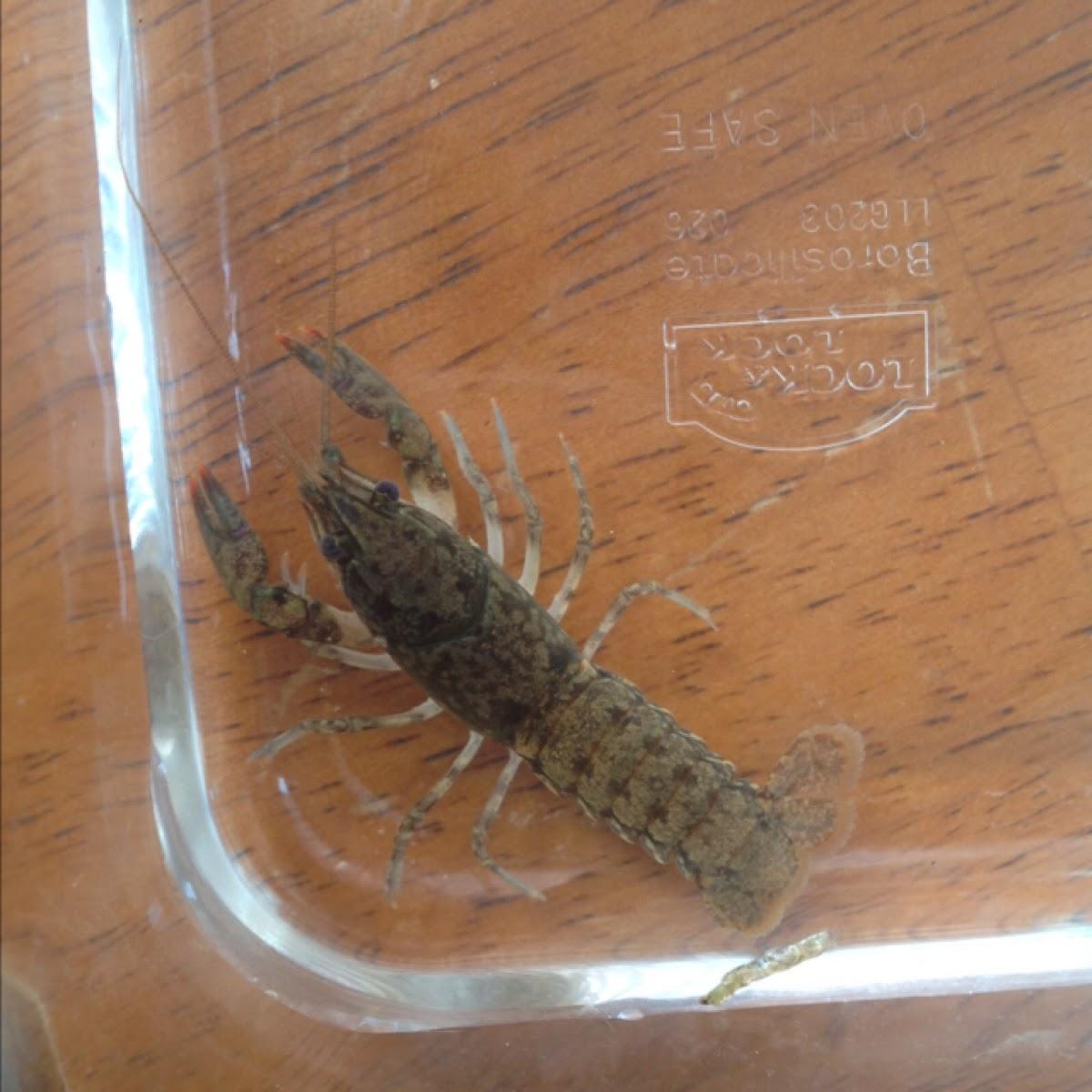 crayfish, crawfish, crawdad