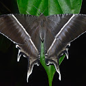 Swallow Tail Moth