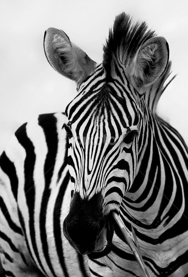 by Charliemagne Unggay - Animals Other Mammals