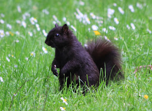 Photo: Vancouver - Eichhörnchen im Stanley Park