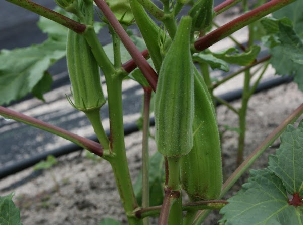 Carrie's Southern Okra Recipe