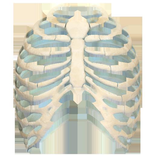 Human Ribs 3D