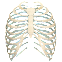 Human Ribs 3D icon