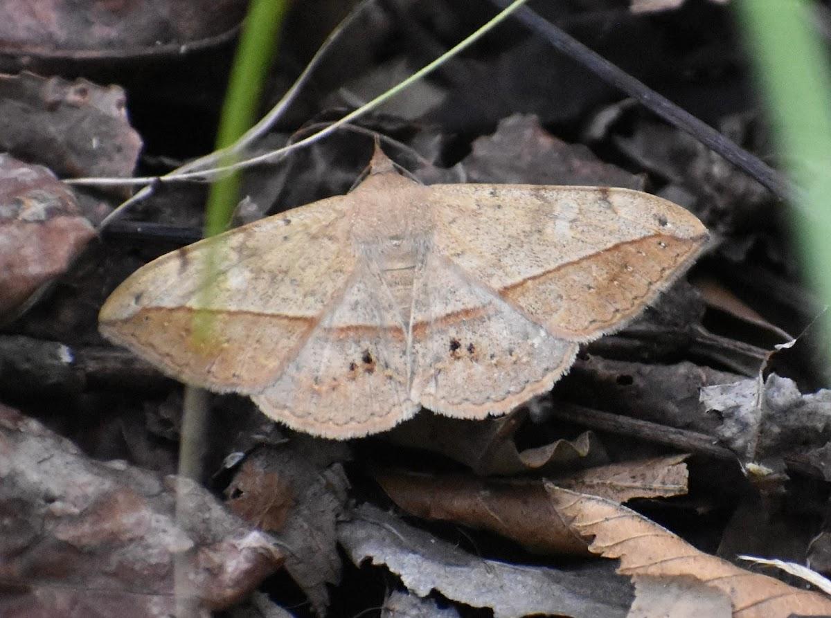 Velvetbean caterpillar moth