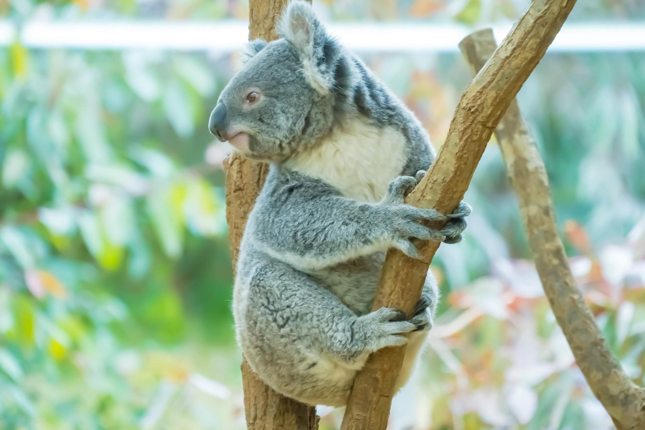 Kobe Oji Zoo koala2