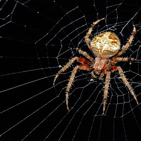Spider on Web by Mike Lesnick - Animals Insects & Spiders ( night, web, spider )