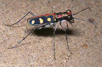 Photo: Golden-spotted tiger beetle (Cicindela aurulenta). Taman Negara National Park, Malaysia.