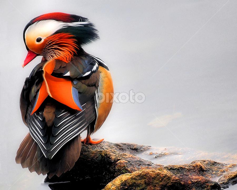 Wood Duck Portrait by Theresa Diehl - Animals Birds ( bird, nature, wood duck, duck )
