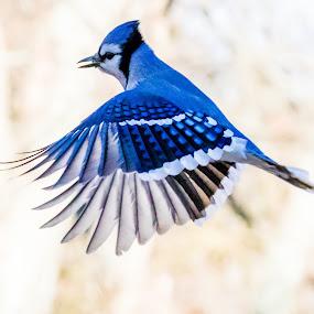 Blue Jay Flying by Carl Albro - Animals Birds ( bird, flying, blue jay, bif,  )