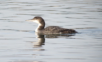 Photo: Common loon