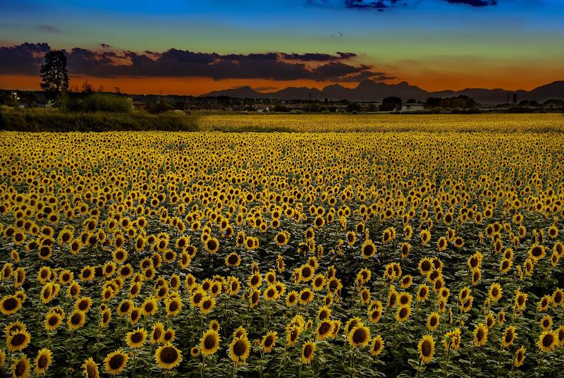 Girasoli al tramonto di alessandro_menna
