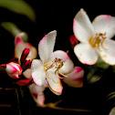South China Barthea (棱果花)