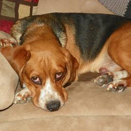 Tired by Sandy Stevens Krassinger - Animals - Dogs Portraits ( paws, beagle, freckles, dog, animal )