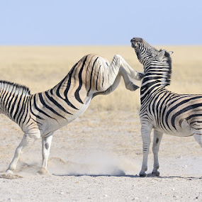 Knock out by Neal Cooper - Animals Other Mammals ( kick, zebra, zabras, stripes )