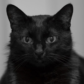 Kormos by Forika Helga - Animals - Cats Portraits