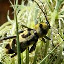 Chlorophorus Longhorn beetle