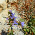 Sea lavender (Λειμώνιο το δαντελωτό )