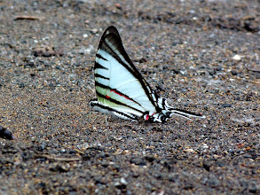 Photo: SHORT-LINED KITE-SWALLOWTAIL--eurytides agesilaus--RIO CHIGUAZA--A MOST WANTED SPECIES!