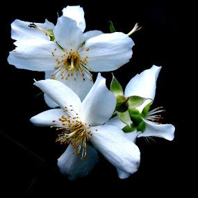 ENGLISH DOGWOOD by Wojtylak Maria - Flowers Tree Blossoms ( tree, june, blooming, white, flowers )