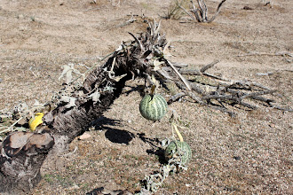 Photo: Melons? In the desert? WTF?